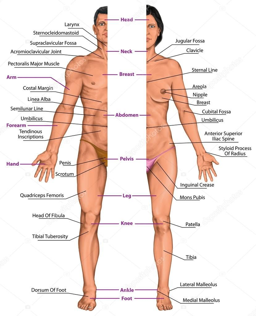 Male And Female Anatomical Body Surface Anatomy Human Body Shapes