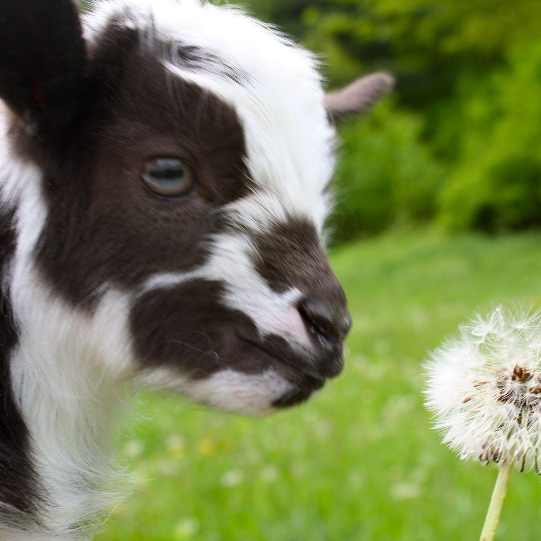 Sunflower Farm Baby goats, Goats, Nigerian dwarf goats