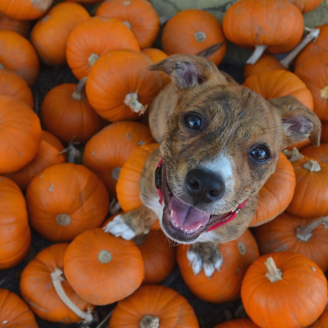 Image result for dogs in pumpkin patch