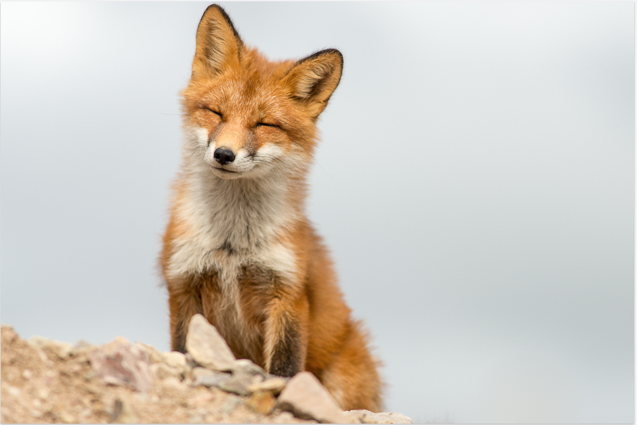 Have you ever seen such a smiling, happy fox? http//sulia