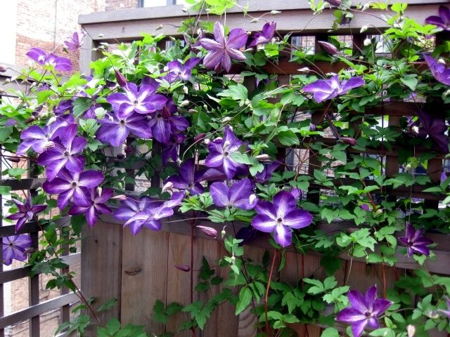 Tips For Planting Care And Cutting Clematis Climbing Plants