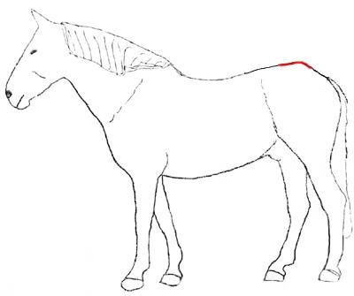 Das Kreuz-Darmbein-Gelenk, oder wie es medizinisch heißt Ileosacralgelenk, befindet sich direkt unter dem höchsten Punkt der Kruppe. Eigentlich handelt es sich nicht um ein Gelenk, wie man es sich allgemein vorstellt. Beim Kreuzdarmbein-Gelenk handelt es sich um eine Verbindung zwischen zwei Knochen, die durch feste Bänder stabilisiert ist. Es gibt keine Muskeln, die Bewegungen ermöglichen, keine Knorpelflächen und keine Gelenkkapsel. Das Kreuzdarmbein-Gelenk verfügt lediglich über Muskeln…