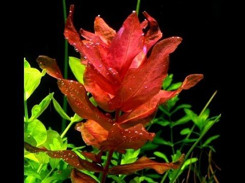 The Secret To Keeping And Turning Plants RED Aquascape Aquascaping