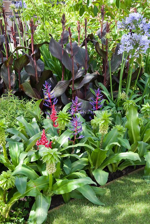 Eucomis Bicolor With Need Id Tropical Flowers Agapanthus And Canna Purple Foliage Plants