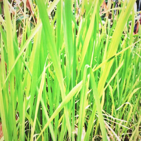 'Carolina Gold' rice growing in the National Museum of American History Victory Garden.