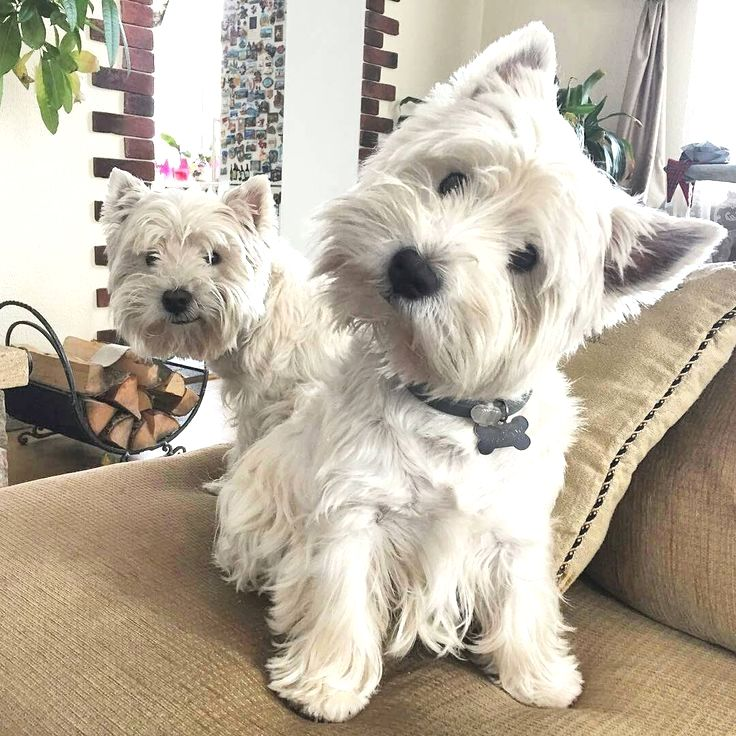 West Highland White Terrier Westie Puppies for sale in Nova Scotia Canada