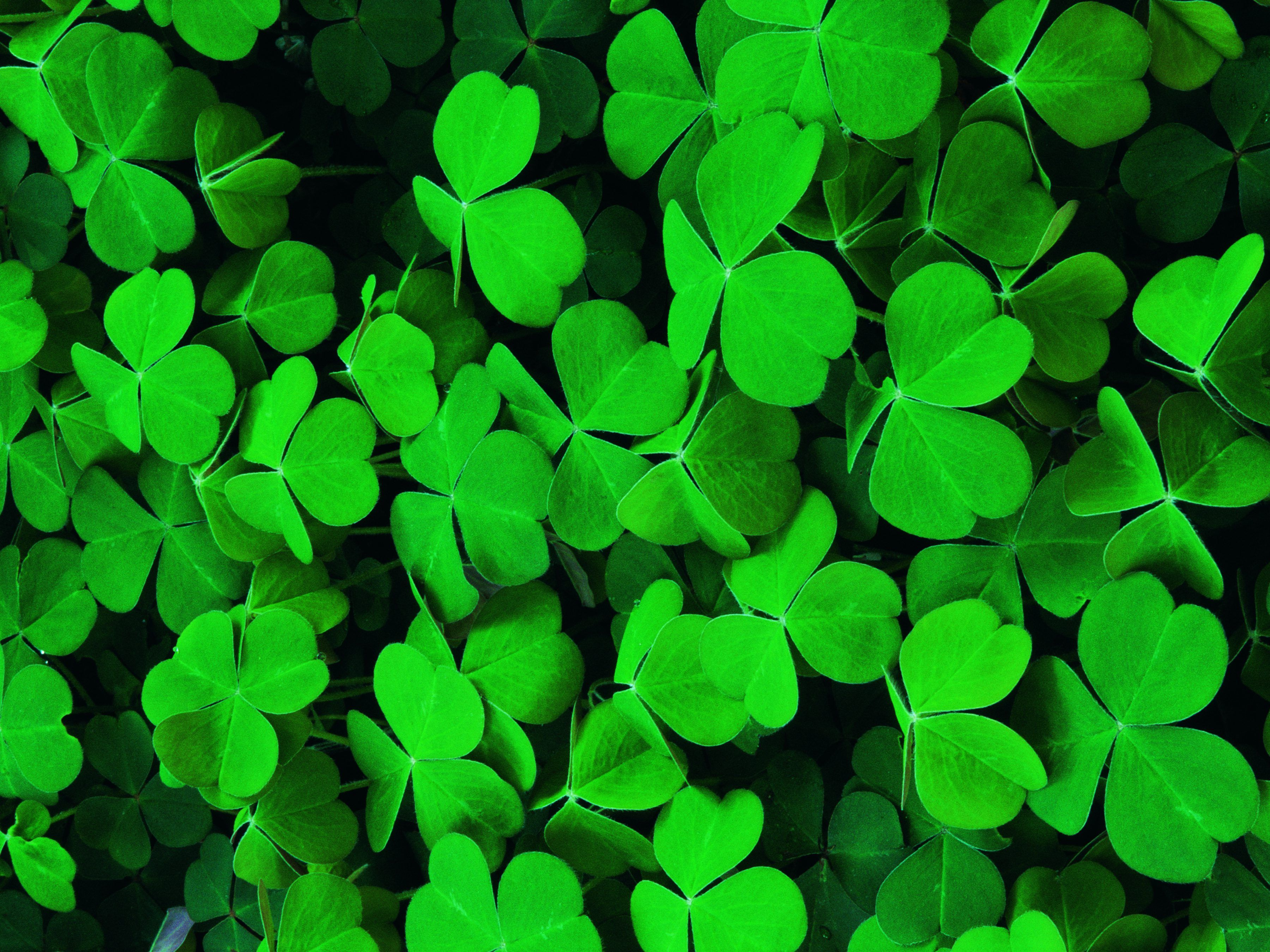 How when to kill ground clover clover seed clover