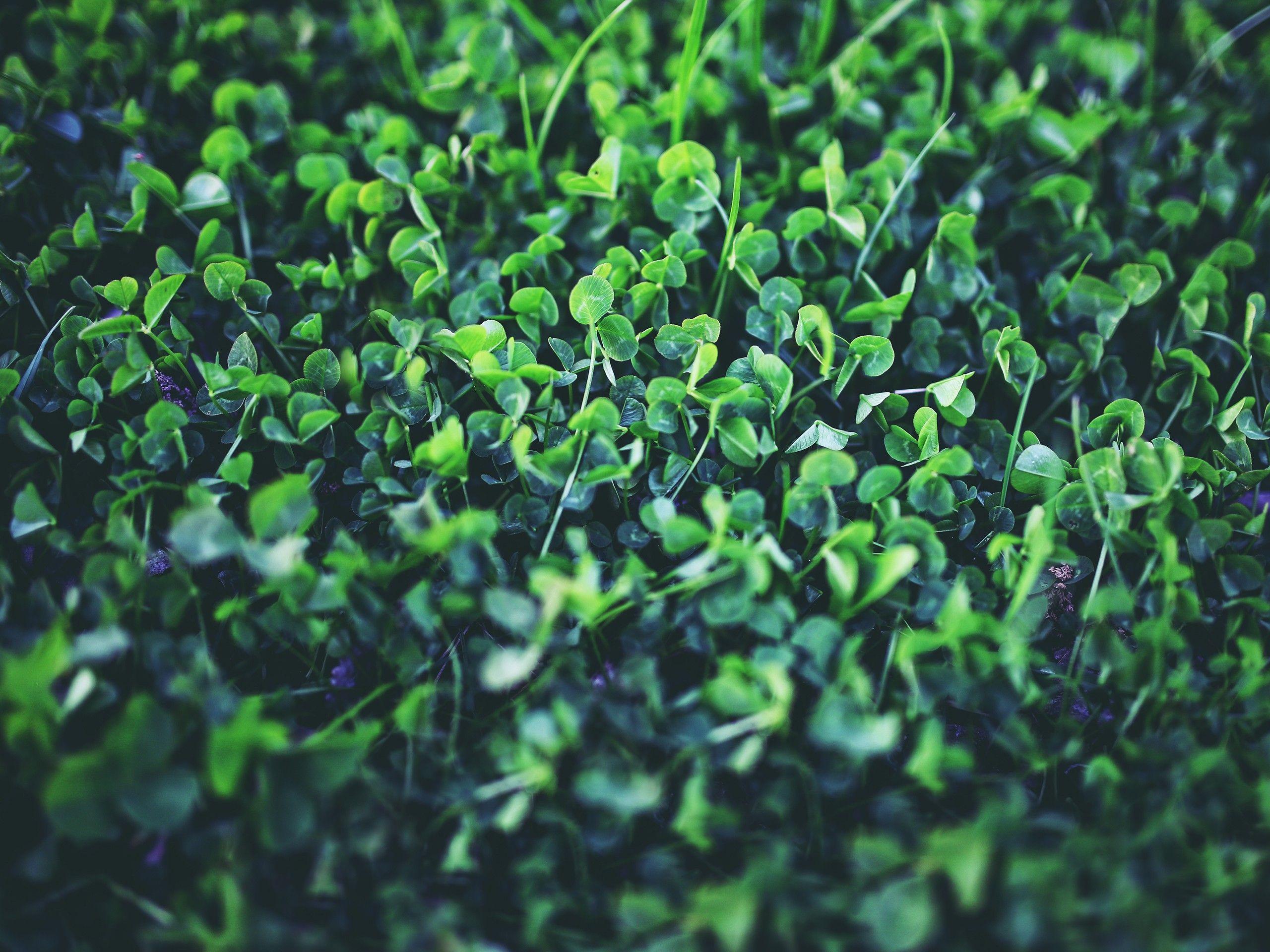Clover clover plant herbicide lawn care
