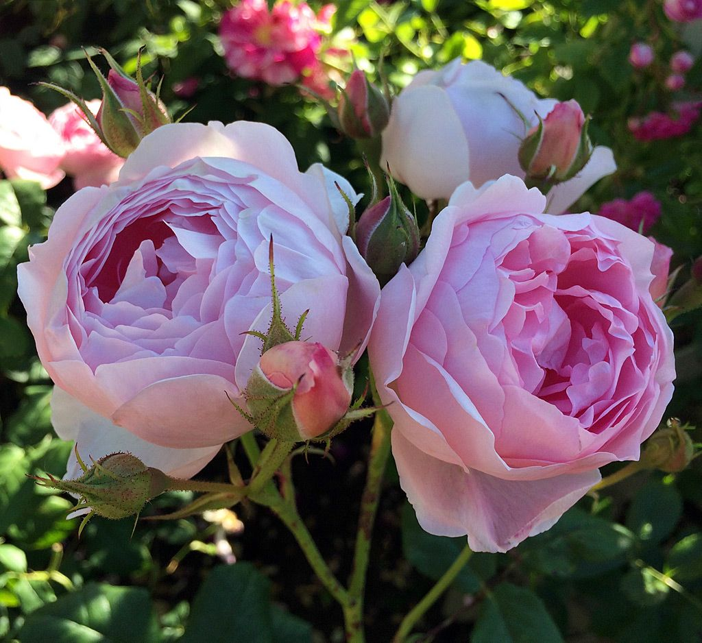 Pink Rose With Chalice Shaped Blooms Rose Rose Varieties Rose
