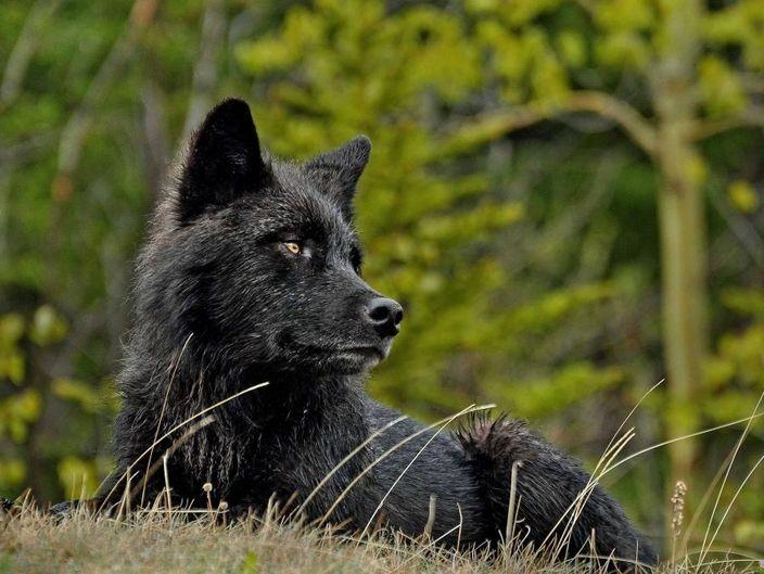Фотографии черных волков