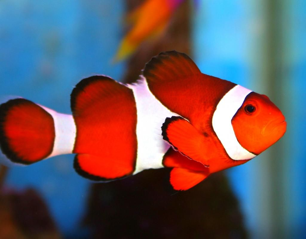 Clown Fish | Hot and Cold | Pinterest