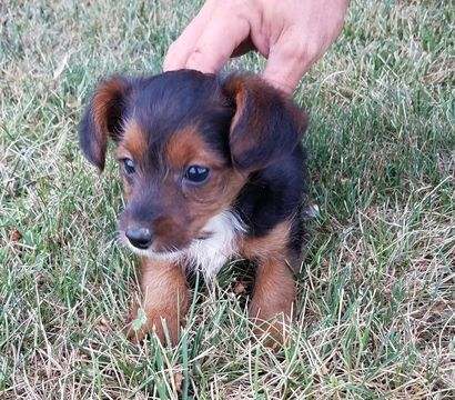 Poodle (Standard)Yorkshire Terrier Mix Litter of Puppies