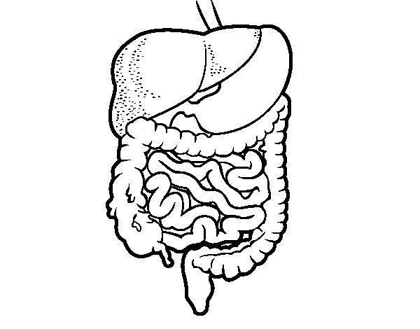 Dibujo De Sistema Digestivo Para Colorear Dibujosnet Ciencias