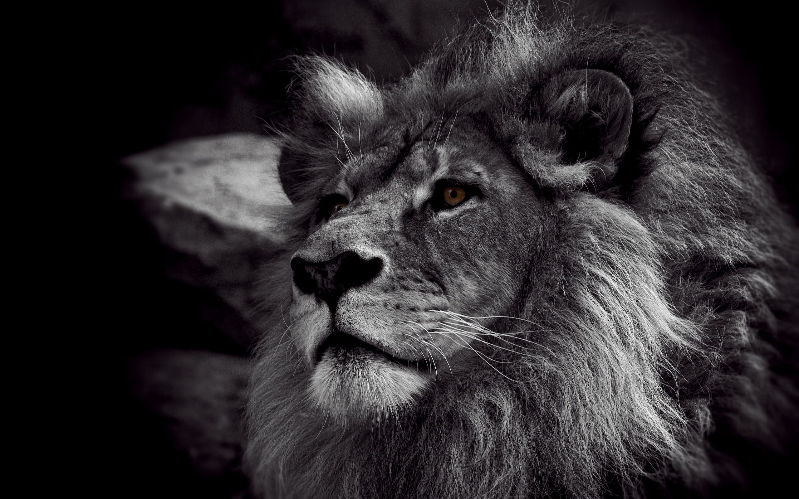 Startpage Web Search Lion Wallpaper Black And White Lion Lion Photography