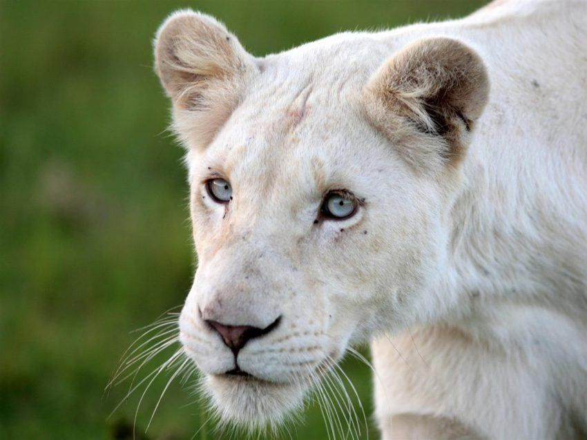 Los Leones Blancos De Timbavati En Sudafrica Big Cats Animals Wild Animals