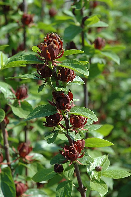 Find Common Sweetshrub (Calycanthus Floridus) In Raleigh Wake Forest  Morrisville Durham Cary North Carolina NC At Atlantic Avenue Orchid U0026 Garden  (Carolina ...