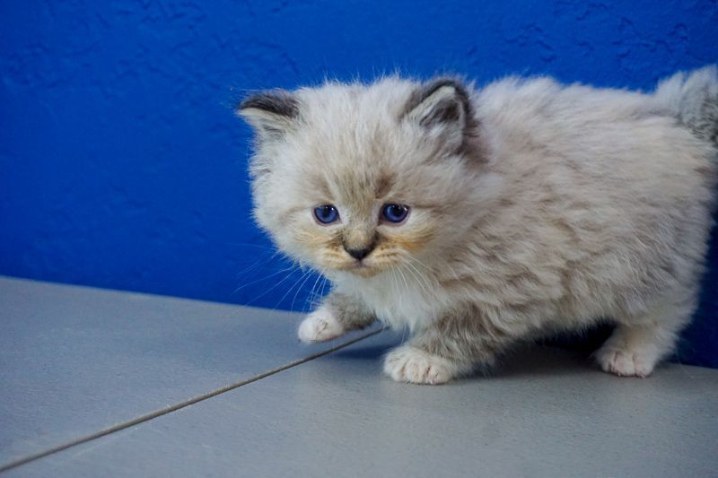Kittens for Sale Near Me  Buy Ragdoll Kitten Kittens for Sale Near Me  Buy Ragdoll Kitten Kittens for Sale Near Me  Buy Ragdoll Kitten Kittens for Sale Near Me  Buy Ragdo...