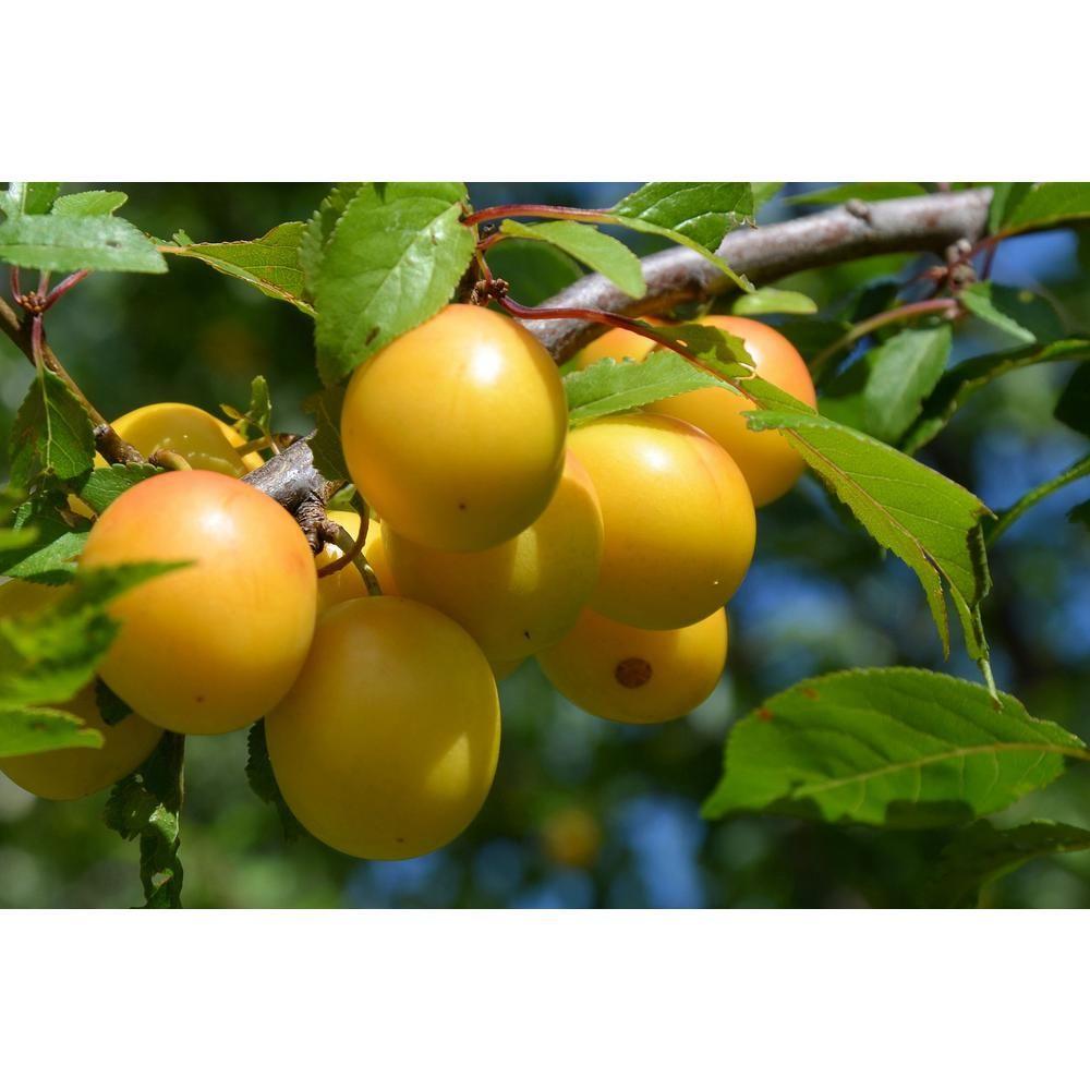 Online Orchards Dwarf Shiro Plum Tree Bare Root Ftpl004 Yellow Plums Plum Fruit Plum Tree