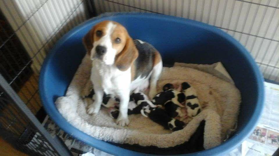 Kc Reg Beagle Puppies Beagle Puppy Beagle Puppies