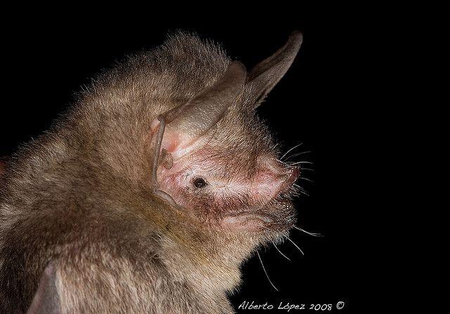 Sooty Mustached Bat | Bat mammal, Mammals, Creatures