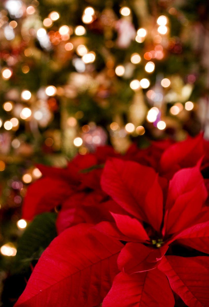 Poinsettia 6 Astuces Pour Bien Entretenir Son Etoile De Noel