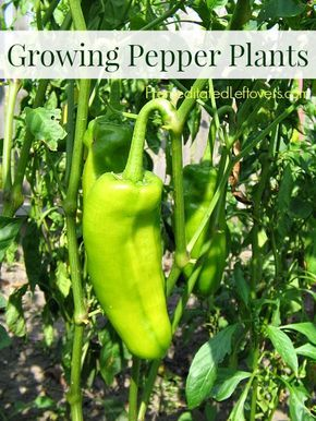 Tips for Growing Pepper Plants - Want to grow pepper plants a container garden or vegetable garden? from seed or seedling? You will find tips to help you!