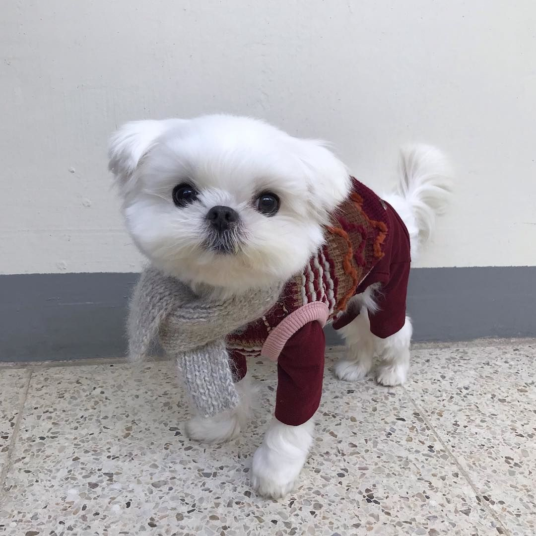 5 Calm Dog Breeds Best Family Dogs Dogbeast Maltese Dogs Maltese Puppy Maltese Poodle Mix