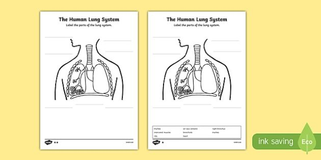 Pin by michele on science ideas pinterest human body lungs and human body lungs diagram ccuart Image collections