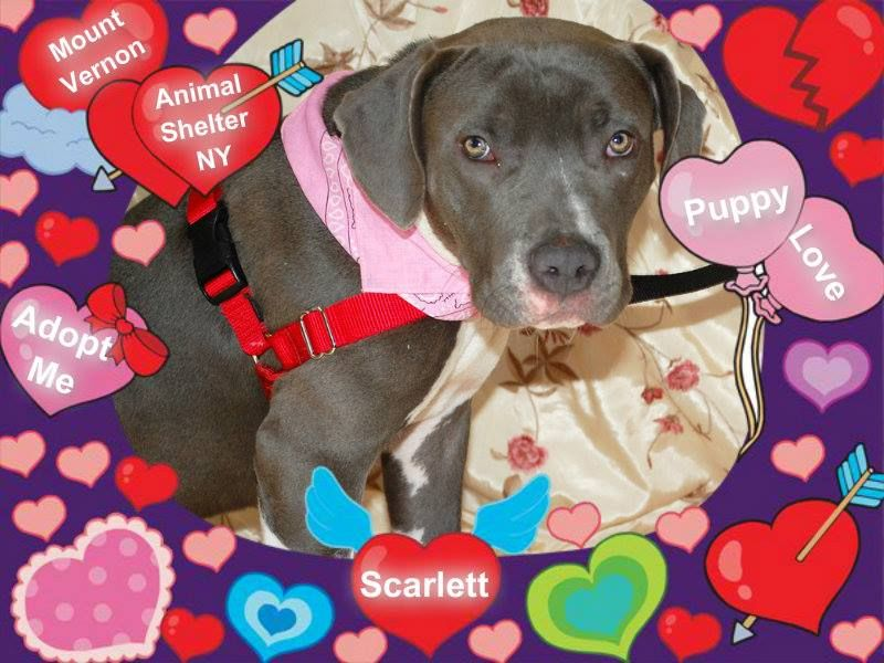 Scarlett Was Picked Up Early This Morning By Nova Scotia Pitbull