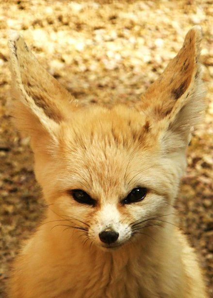 fennec by cheshirecat84 on deviantART