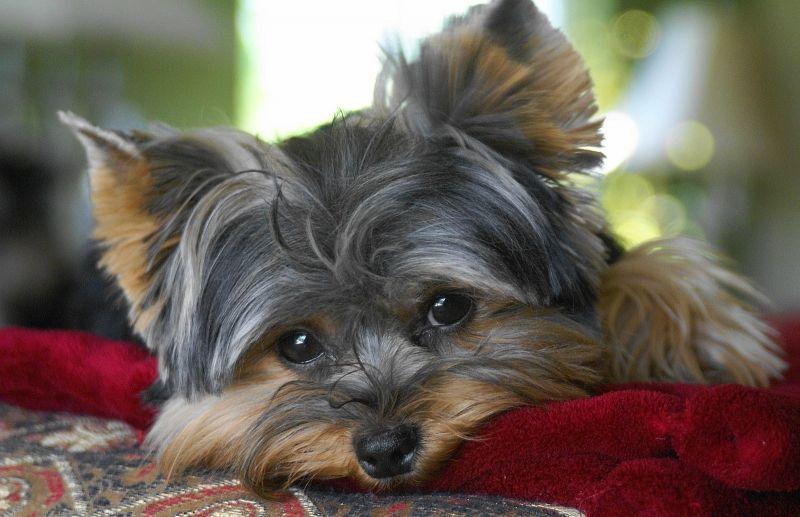 Cute Gray Yorkie Puppies Wallpaper Yorkshire Terrier Dog Yorkie Yorkshire Terrier Yorkshire Terrier