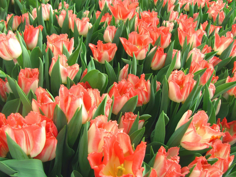 должны услышать красивые картинки на рабочий стол весна тюльпаны снежно-белая