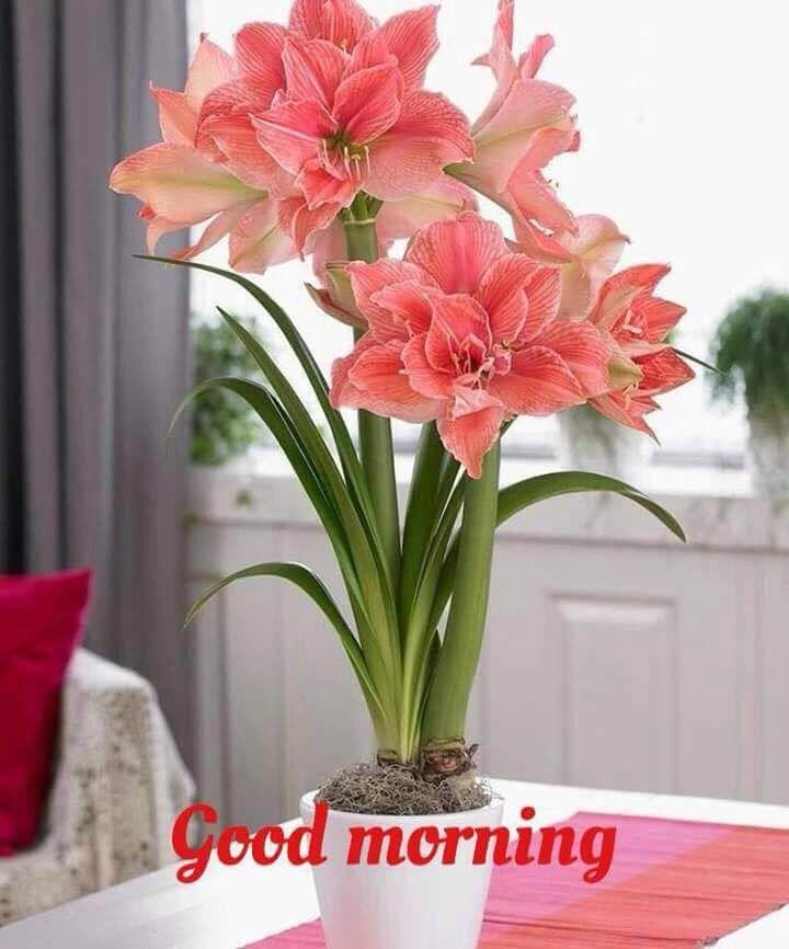 Good Morning Greetings Lily Flower Seeds Amaryllis Bulbs Amaryllis Flowers