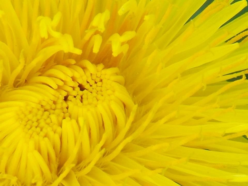 Dandelion Days  Brownville, Maine  By Marilee Page
