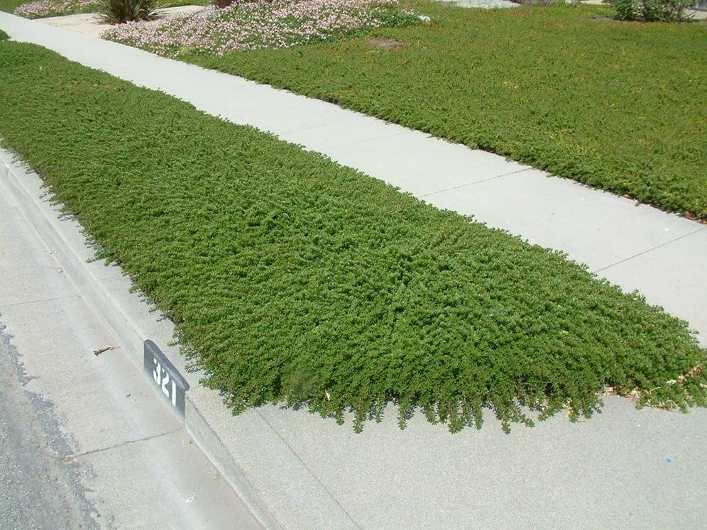Myoporum parvifolium as ground cover Courtyard gardens