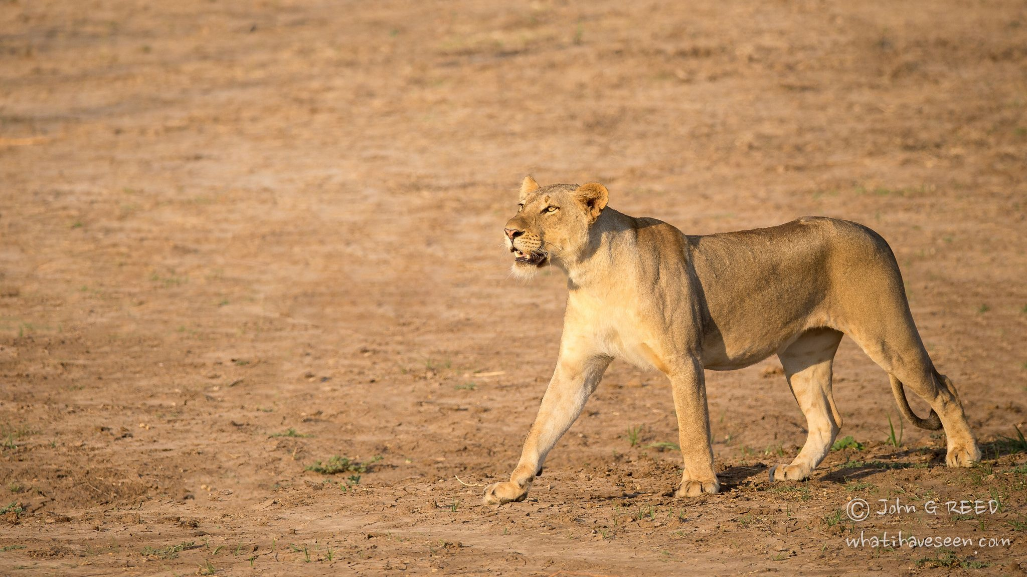 This lioness part of a group of nine took the scou ... - This lioness part of a group of nine took the scout position as the evening began to set in. The Guinea Fowl were not happy and she was looking at them.