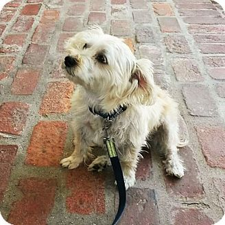 Sherman Oaks Ca Silky Terrier Maltese Mix Meet Scout A Dog For