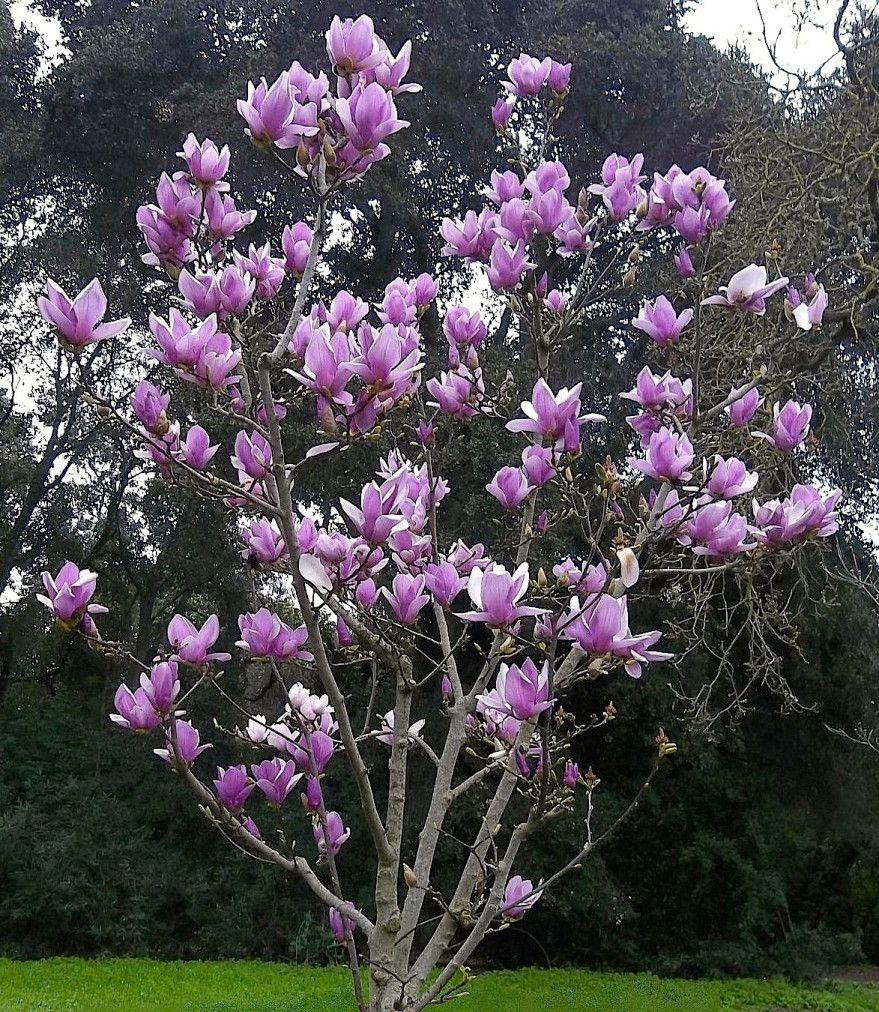 Saucer Magnolia Tree Garden Pinterest Garden Garden Trees And