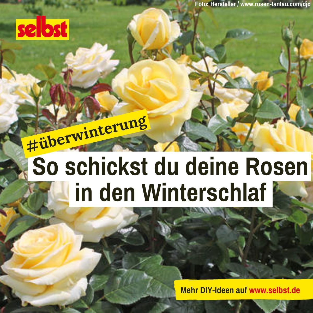Rosen Uberwintern Selbst De Rosen Uberwintern Rosen Pflanzen Pflanzen