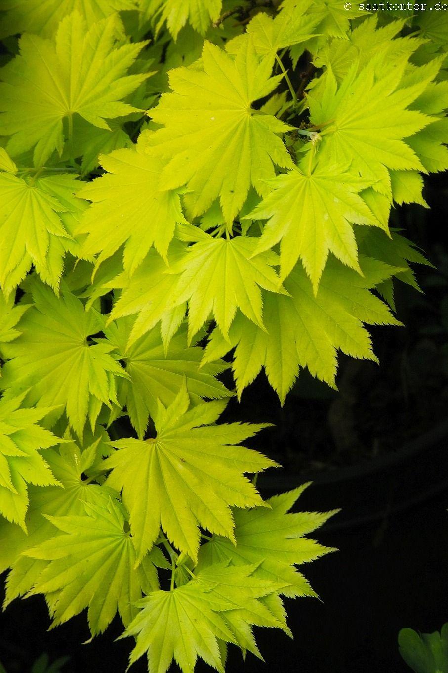 Japanischer Goldahorn Acer Shirasawanum Aureum Verdant 緑
