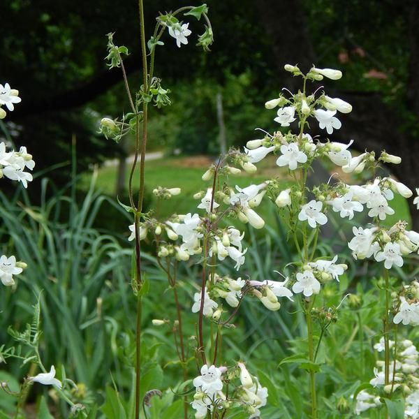 Foxglove beardtongue penstemon digitalis summer blooming white for a month in midsummer white tubular flowers attract butterflies and hummingbirds very drought tolerant deer resistant and nice cutflower mightylinksfo