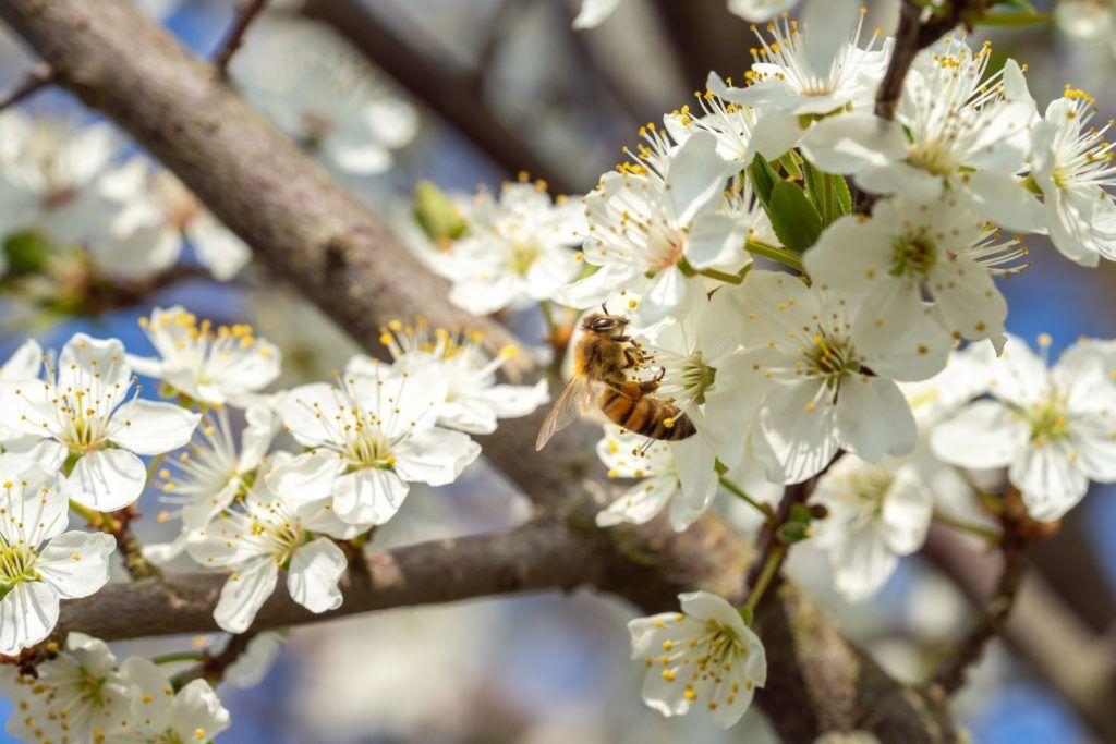 Bienenfreundliche Sträucher: Top 15 Bienensträucher ...
