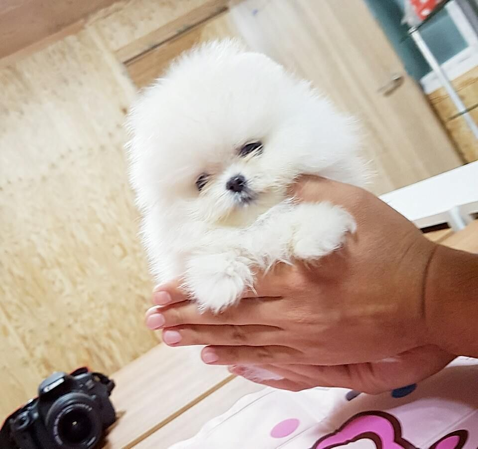 Baby Teacup Pomeranian In 2020 Pomeranian Puppy For Sale Pomeranian Puppy Pomeranian Puppy Teacup