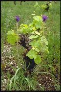 plante adulte Muscari à toupet