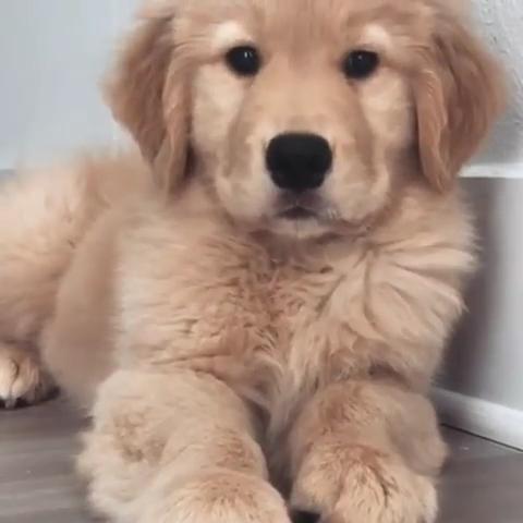 Goldenretriever Welpen Videos Goldenretriever Welpen Videos In 2020 Cute Dog Pictures Cute Baby Animals Cute Little Animals