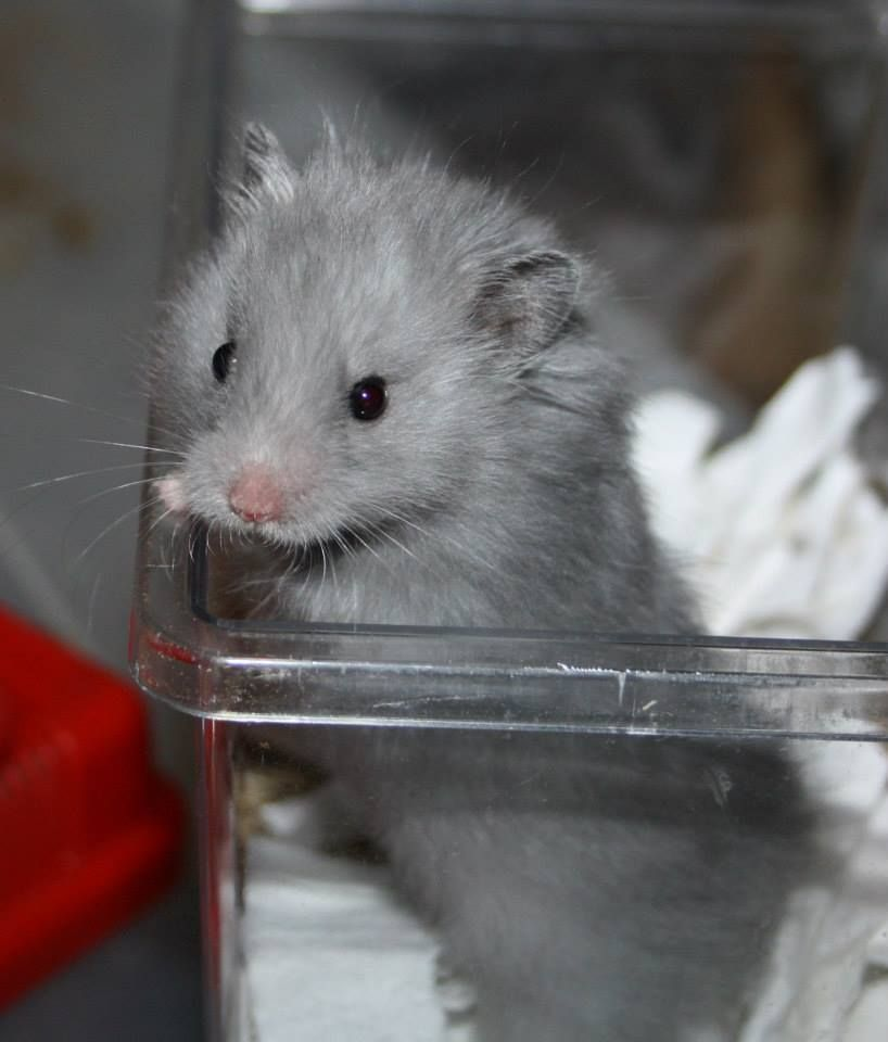 Longhaired Blue Hamster Life Cute Hamsters Syrian Hamster