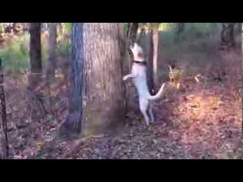 Hunting With Mountain Feist Squirrel Dogs In North Carolina 2012