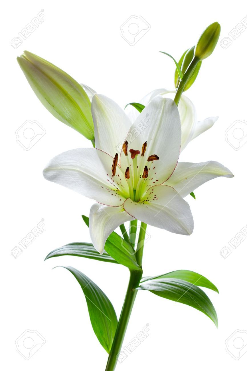 White Lily Beautiful White Lily Flowers Isolated On White Garden