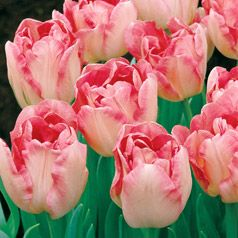 Tulipa Angelique Botanical Name Tulipa Angelique Common Name Tulip Petal Iferous Blooms Look Like Str Beautiful Flowers Tulips Flowers Types Of Tulips
