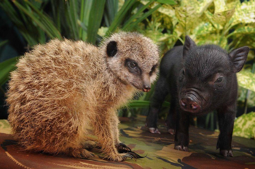 L'alleanza strategica tra scimmie e lupi - Focus.it